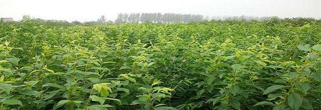 贵州乾坤蜂糖李苗种植基地