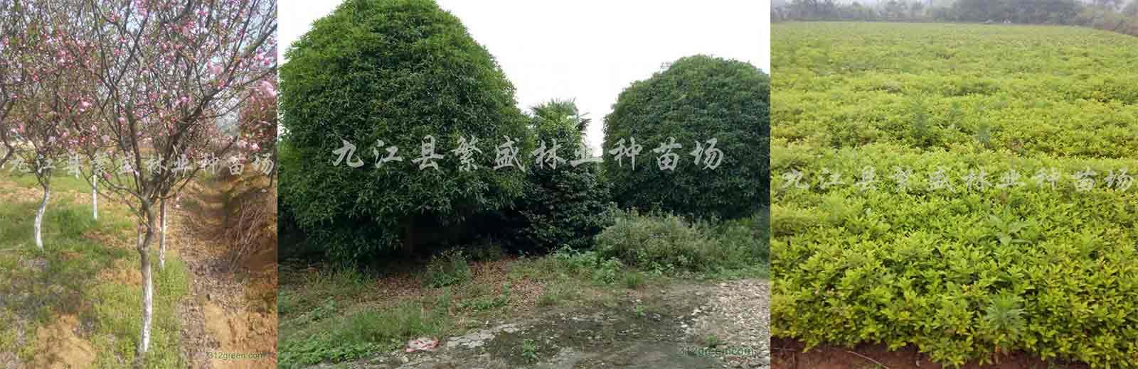 九江木荷,九江桂花,九江杜英